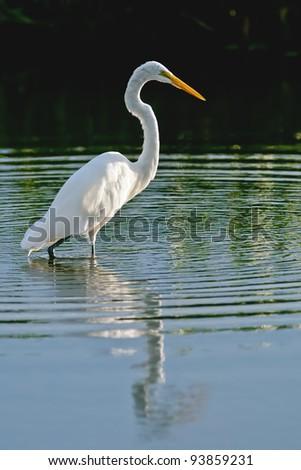 great white egret wades in florida wetland pond