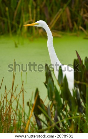 great white egret wades in wetland