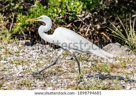 Great white egret walking in J.N. 'Ding' Darling National Wildlife Refuge, Florida, USA Foto stock ©