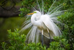Great White Egret Wildlife Nesting at Florida Nature Migratory Bird Rookery in St Augustine Florida