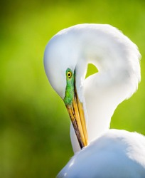 Great white egret with bright green head breeding markings-Edit.