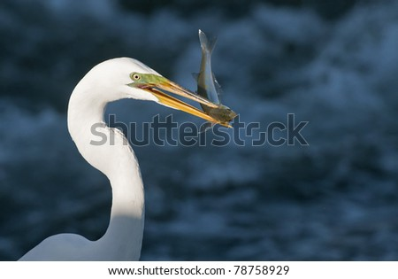 Great White Egret with Fish