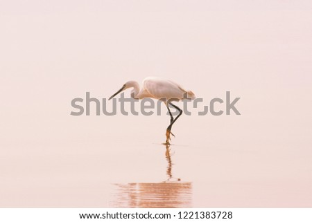 Great White Egret with reflection on the clean sand tropical beach. Great Egret (Ardea alba) stalking a fish in early morning. Travel concept. Pink pastel toned background in minimalist style. #1221383728