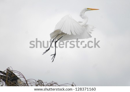 Great white egrets are common in Everglades National Park.
