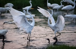Great White Egrets fighting for hunting fish in the marshland waters. White heron with water background