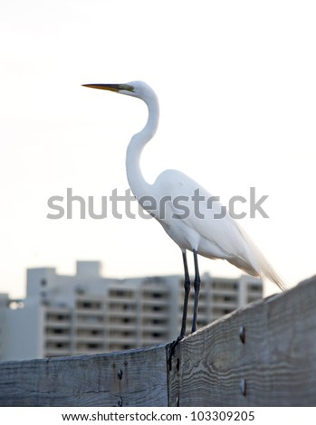 Great White Heron bird on a wooden handrail looking toward the sea. Howard Beach, Florida