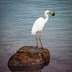 Great white heron bird standing on a rock near ocean shore with just caught fish in his beak at Florida Keys.