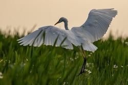 Great white heron in flight in the Danube Delta
