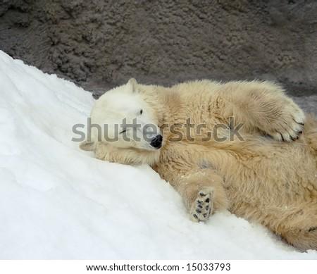 Great white north bear. Russian nature, wilderness world.