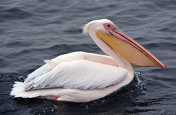 Great white or eastern white pelican, rosy pelican or white pelican is a bird in the pelican family.It breeds from southeastern Europe through Asia and in Africa in swamps and shallow lakes.
