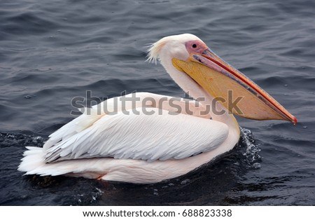 Great white or eastern white pelican, rosy pelican or white pelican is a bird in the pelican family.It breeds from southeastern Europe through Asia and in Africa in swamps and shallow lakes. - Shutterstock ID 688823338