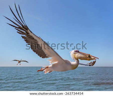 Great white Pelican catches fish thrown by tourists on the deck of the ship - Namibia, South Africa #263734454