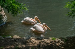 Great white pelican (eastern white pelican, rosy pelican or white pelican)