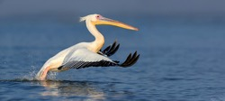Great white pelican flying over the lake, Kenya, Africa