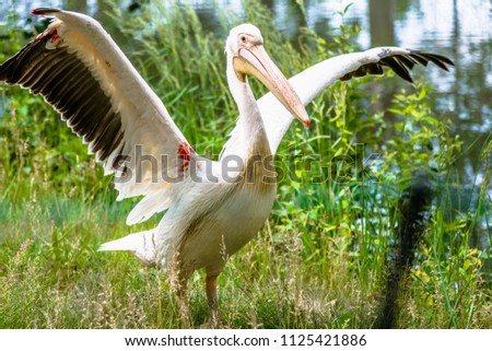 Stock Photo Great white pelican in nature. Rosy pelicans family. Wild bird with spread wings. Animal in zoo.