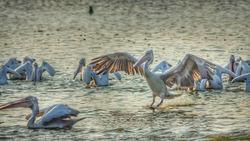 Great white pelican landing over the lake water. Chennai, India. Flying pelicans - water bird