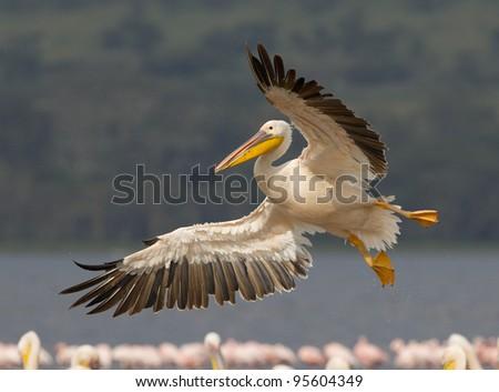 Great White Pelican (Pelecanus onocrotalus) in flight at Kenya's Lake Nakuru