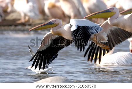 Great White Pelican (Pelecanus onocrotalus), lake Nakuru, Kenya