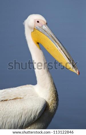 Great White Pelican portrait