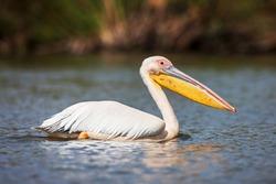 Great white pelican swimming on Lake Narasha, Kenya, Africa