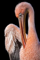 Great white pelican with pink plumage isolated on black background. Close-up portrait of the rosy pelican (Pelecanus onocrotalus) in breeding season cleaning breast feathers with its huge bill.