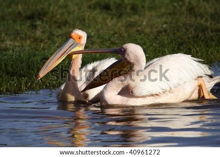 Great white pelicans having an argument, Lake Nakuru NP, Kenya