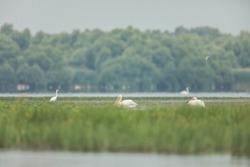 Great white pelicans in danube delta reservation, Danube Delta biosphere reserve white pelican, wild for wild life photography adventure in danube delta, bird watching exploration in Romania