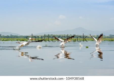 Great White Pelicans, Kenya