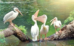 Great white pelicans sit on a tree. One pelican tells something, two pelicans are beautifully arched neck, and the fourth pelican silently watches what is happening. Funny birds.