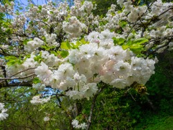Great white rhododendron (Rhododendron decorum) is a species of flowering plant in the heath family Ericaceae.