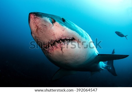 Great White Shark #392064547