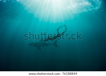 Great white shark and diver, Gansbaai, Western Cape, south Africa