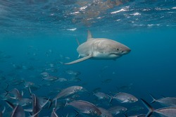 Great white shark and jack fish, Neptune Islands, South Australia.