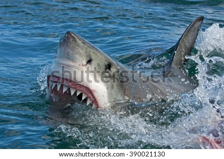 Shutterstock Great white shark, Carcharodon carcharias