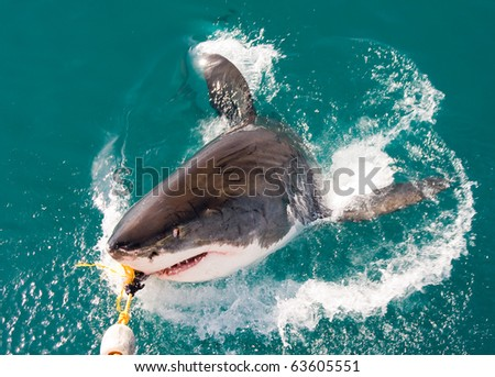 Great White Shark (Carcharodon carcharias).