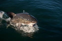 Great White Shark, carcharodon carcharias, Adult Breaching, Catching a Tuna Fish, False Bay in South Africa