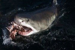 Great White Shark, carcharodon carcharias, Adult eating Tuna Fish, False Bay in South Africa