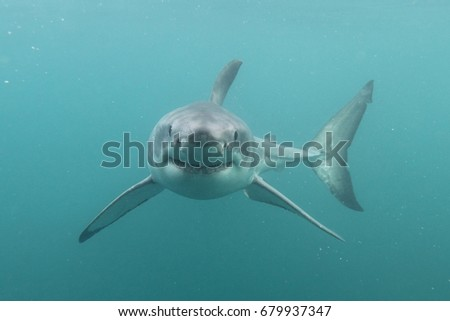 great white shark, Carcharodon carcharias, False Bay, South Africa, Atlantic Ocean