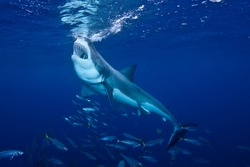 Great_White_Shark_Feeding_at_Guadalupe_Island_Mexico
