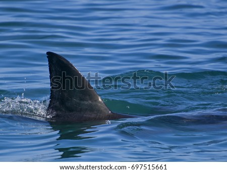 Great white shark: First dorsal fin Foto stock ©