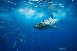 Great White Shark Guadalupe Island Mexico White Shark Big Fish Predator Carcharodon Carcharias Majestic Aggressive Shark Deep Blue Sea Ocean Pacific Ocean