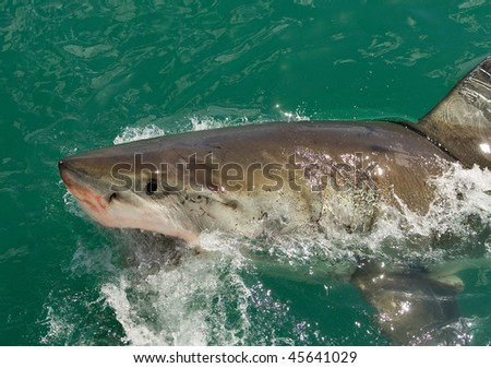 Great White Shark off the South African Coast