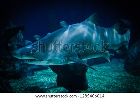 Great white shark picture underwater sea swimming marine life in ocean - large Ragged Tooth Shark or Sand Tiger Shark