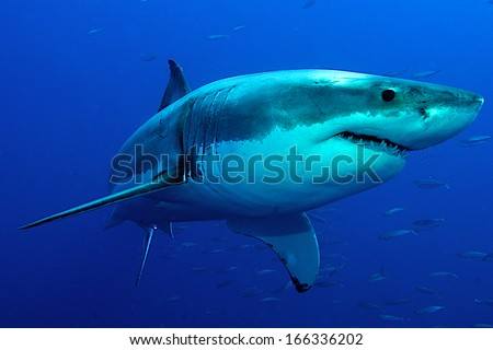 Great white Shark posing in the deep blue water.