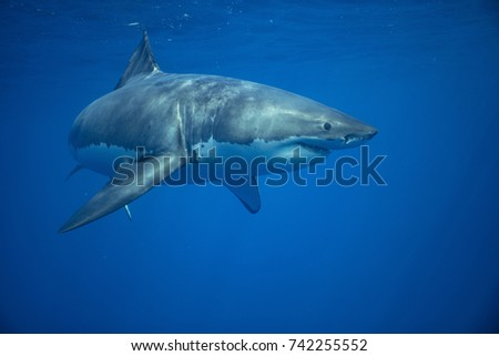 Great White Shark swimming #742255552