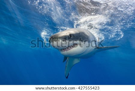 Great white shark swimming just under the surface at Guadalupe Island Mexico