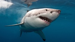 Great White Shark Under The Sea
