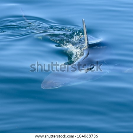 Great White Shark under water in False Bay with a seagull reflecting in the water