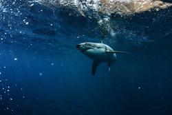 Great White Shark Underwater Photo in Open Water