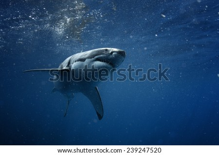 Great White Shark Underwater Photo in Open Water
